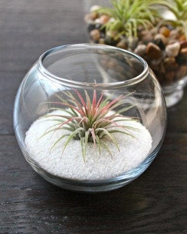 tillandsia ionantha guatemala air plants