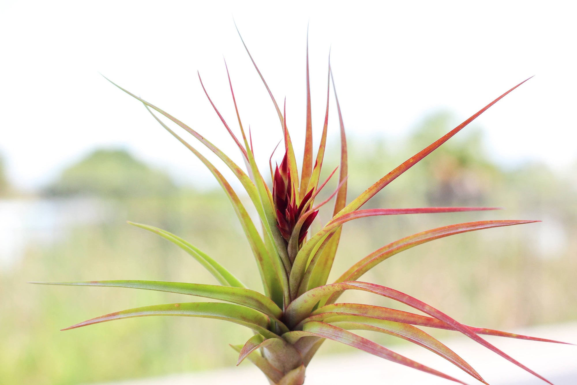 Wholesale Tillandsia brachycaulos hybrid air plants