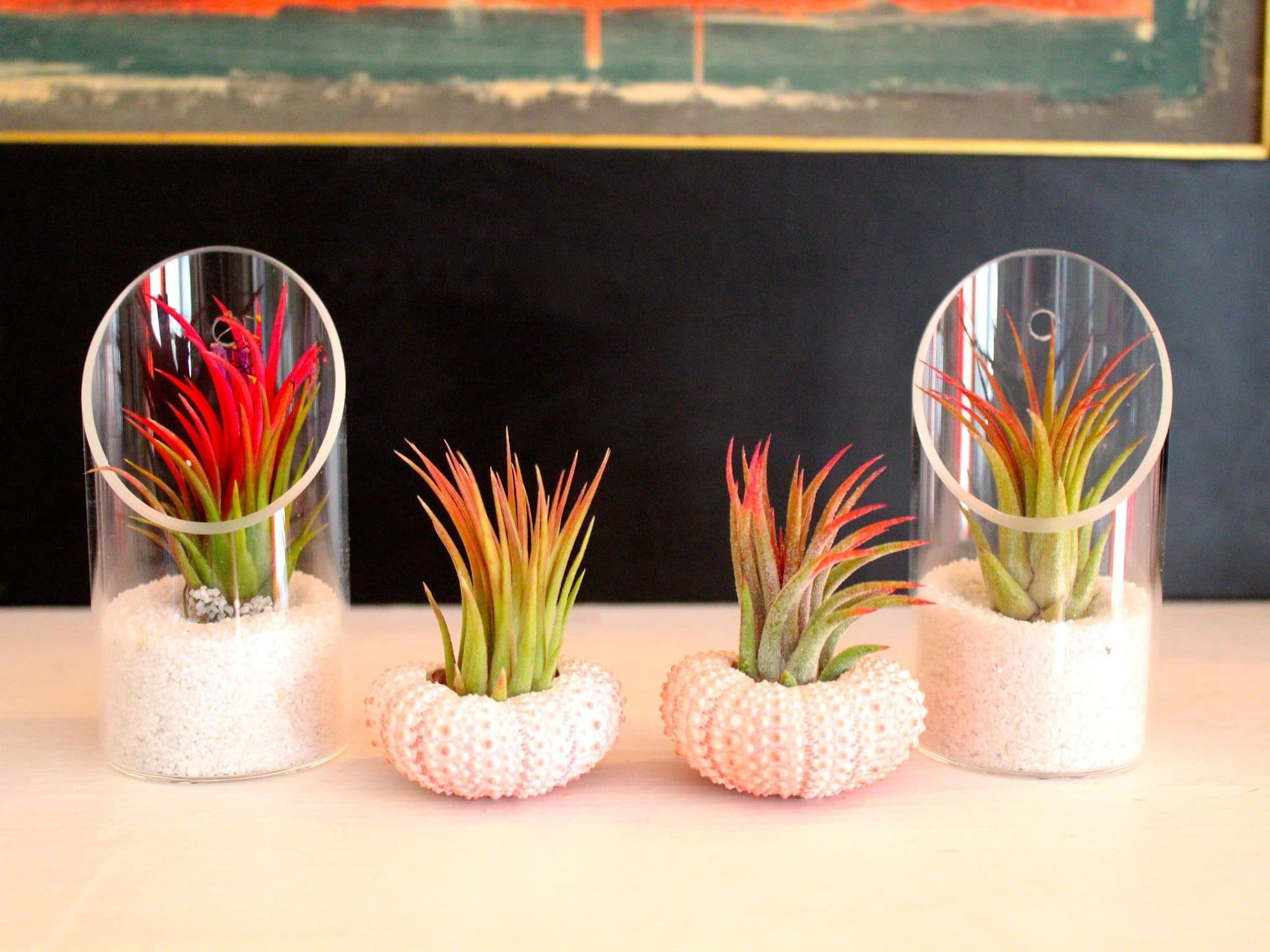 glass tillandsia air plant holders and sea urchins