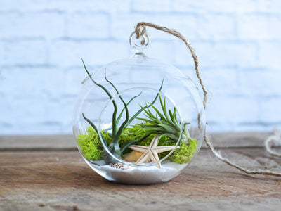 Wholesale Air Plant Terrarium: Sea Scape Terrarium Kit