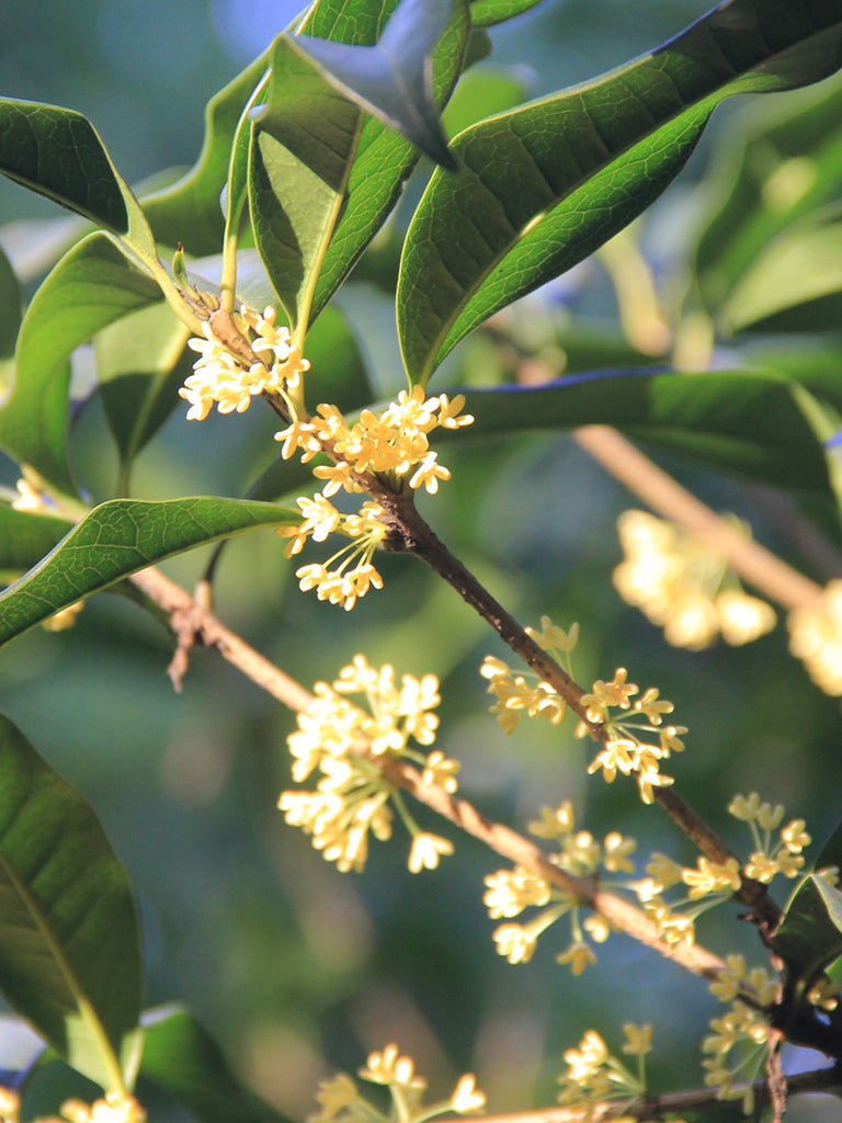 Osmanthus Fragrans - Tea Olive