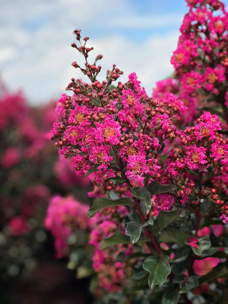 Crape Myrtle - First Editions® Plum Magic