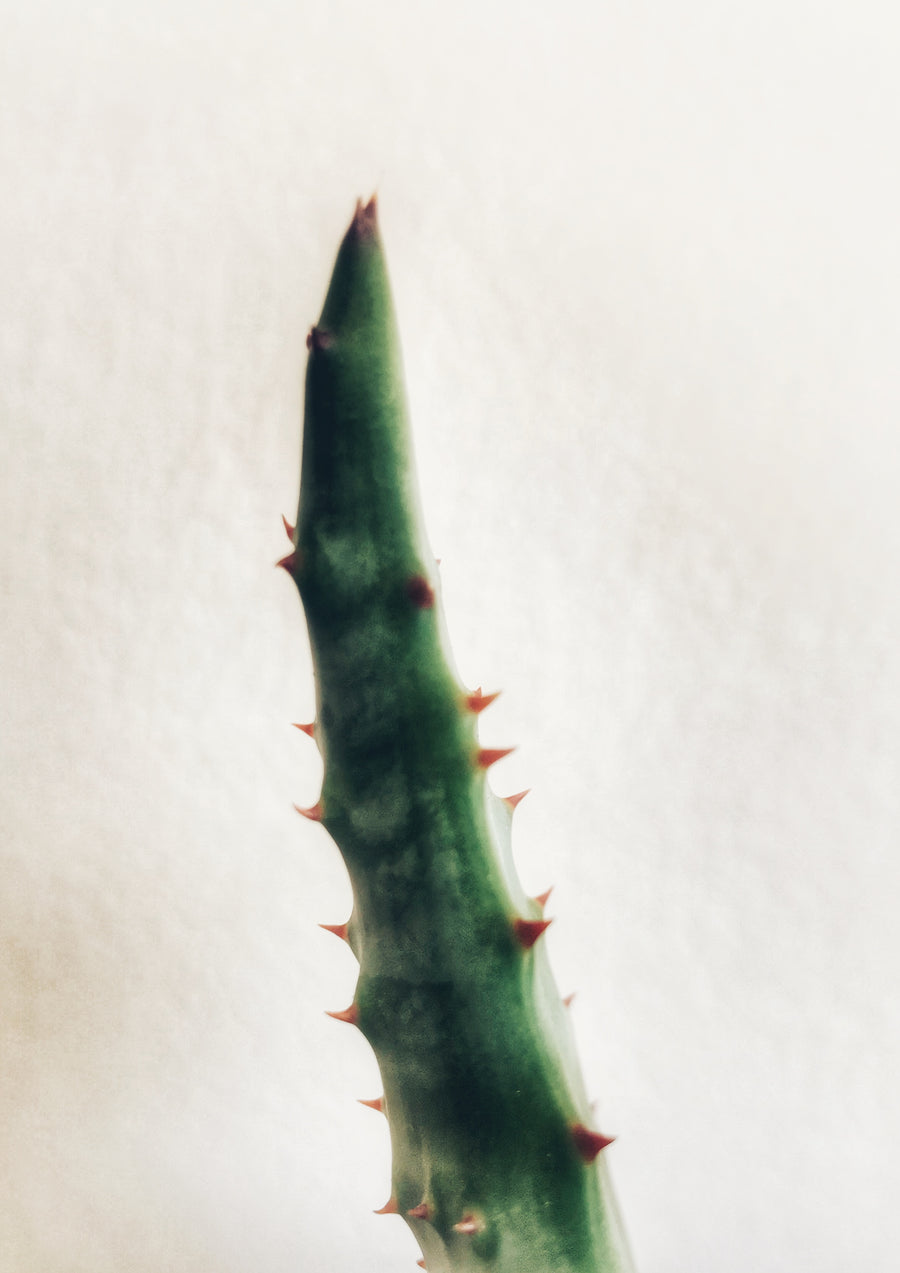 Aloe Ferox Plant:  In-store collection