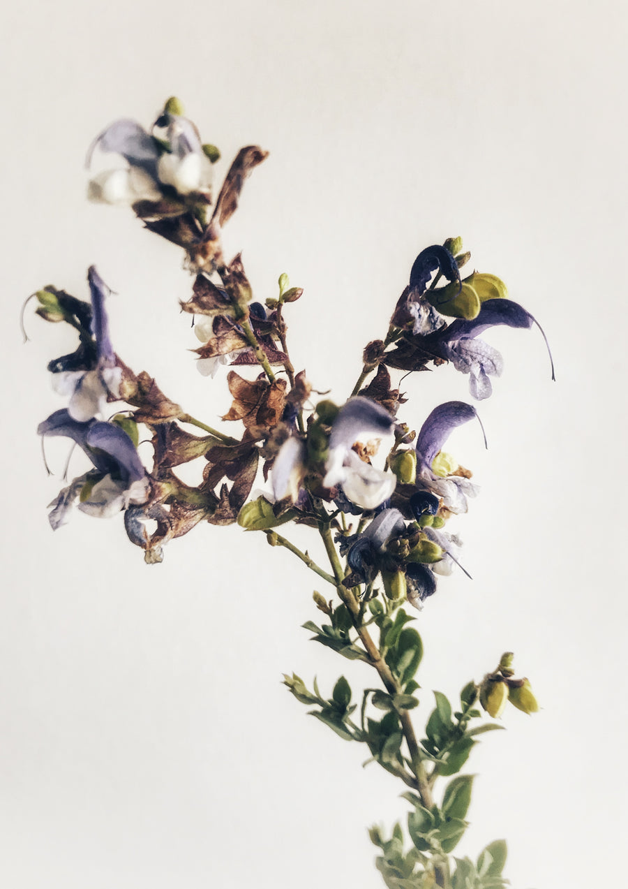 Blue Sage Plant: In-store collection