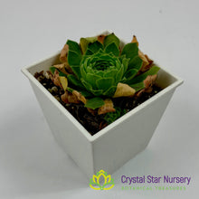 Load image into Gallery viewer, Greenovia Aizoon Cv. Dwarf Cushion
