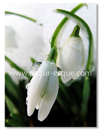 4 Snowdrop Blank Notecards