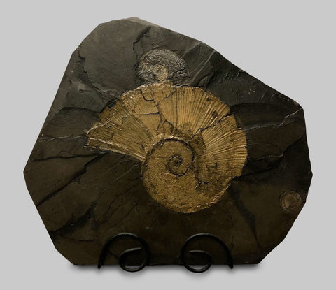 "Huge Pyritized Lytoceras Ammonite - 27"" Matrix"