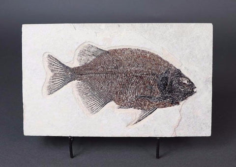 Spectacular Fossil Fish, Phareodus testis - 7.5 inches