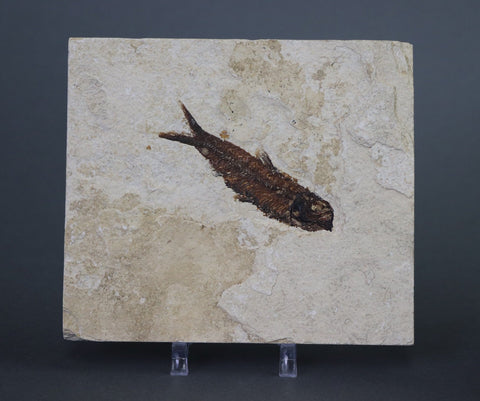 Fossil Fish, Knightia from Green River