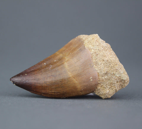 Fossils for Sale: Mosasaur Tooth - 2 to 2.5 inches
