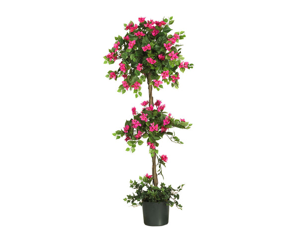 Bougainvillea 5ft