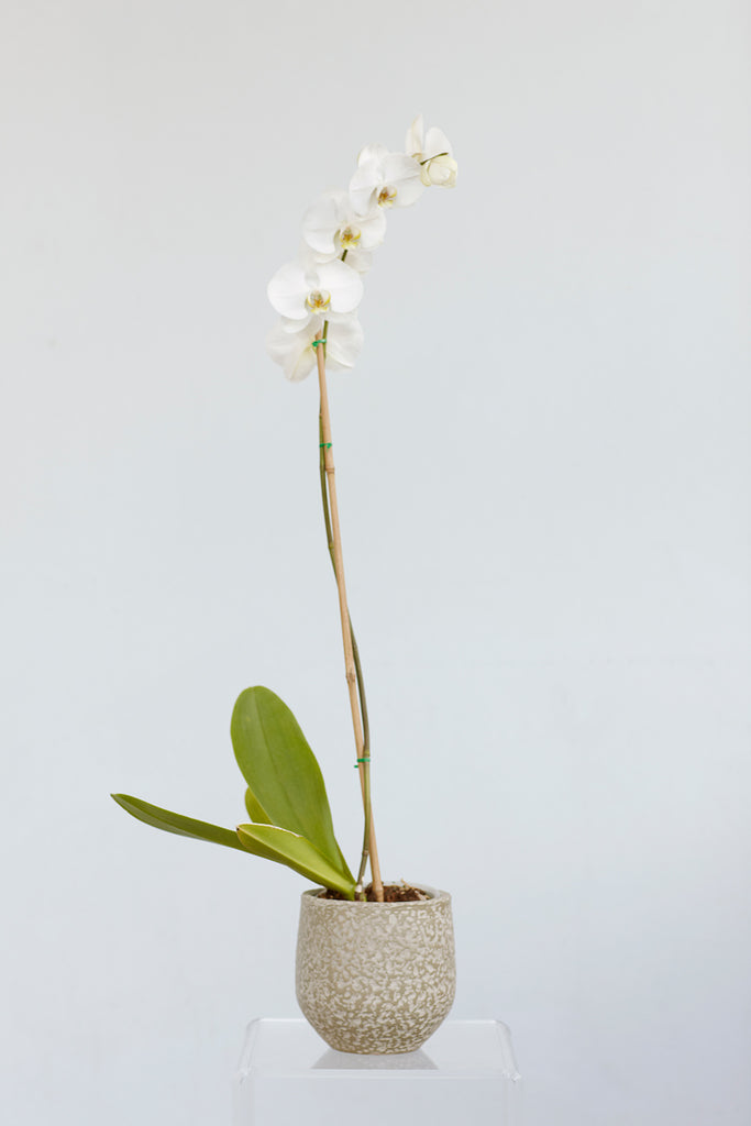 Potted phaelanopsis orchid plant
