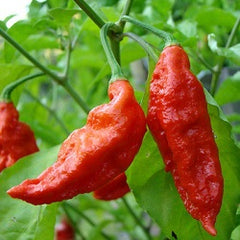 Chilli & Sweet Pepper Pack - 14 Varieties - 100 Fresh Seeds incl Bhut Jolokia / Ghost Pepper