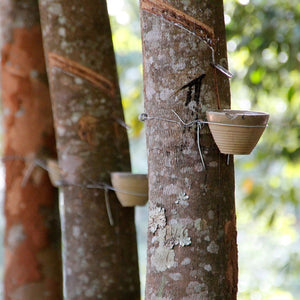 Natural latex being extracted from the rubber tree and being collected in vessel attached to the tree