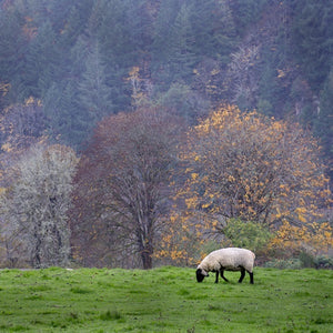 A sheep eating grass in a field with fall foliage in the background