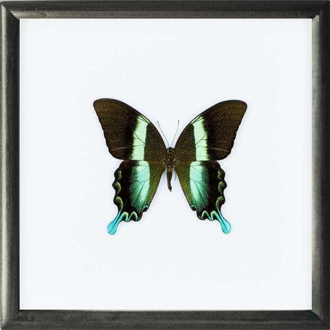 Peacock Blumei - Insect Frame UK