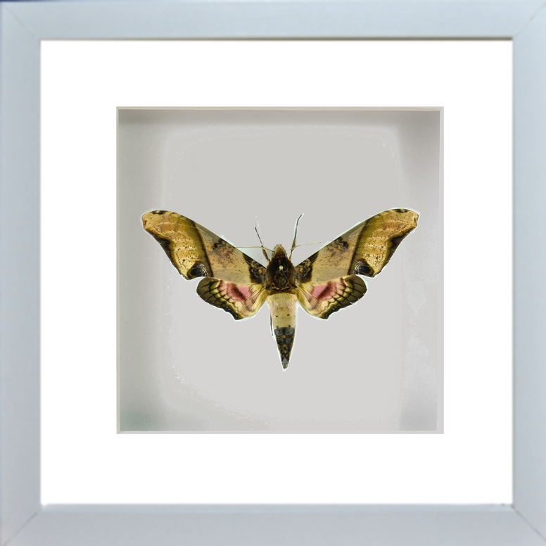 Sphinx Panopus - Insect Frame UK