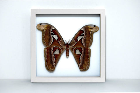 Framed Giant Atlas Moth - Insect Frame UK