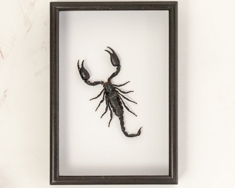 Giant forest scorpion - Insect Frame UK