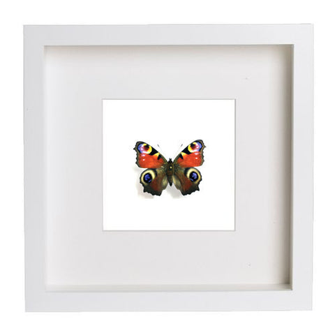 Peacock Butterfly - Insect Frame UK