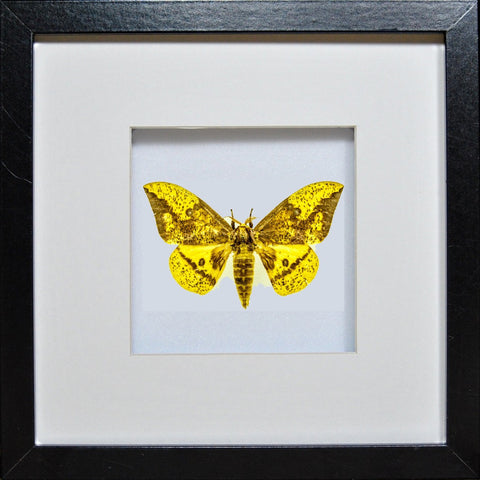 Imperial Moth - Insect Frame UK