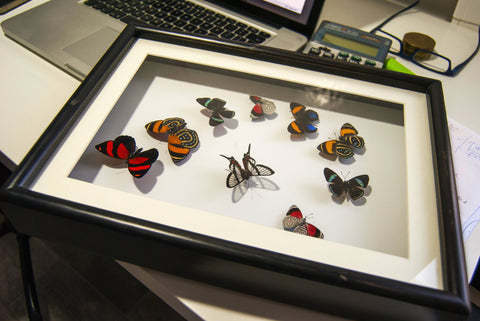 Art with Callicores - Insect Frame UK
