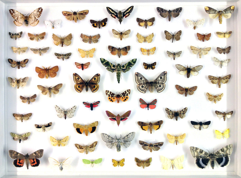 Seventy British Moths - Insect Frame UK