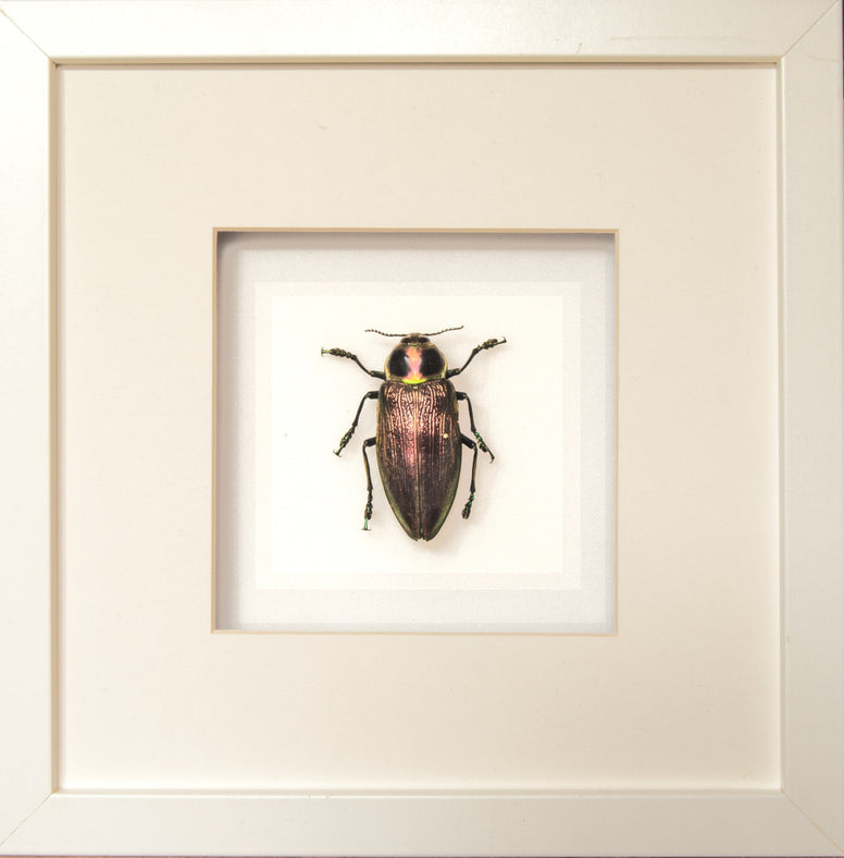 Giant Metallic Ceiba Borer - Insect Frame UK