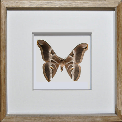 Ailanthus Silkmoth - Insect Frame UK