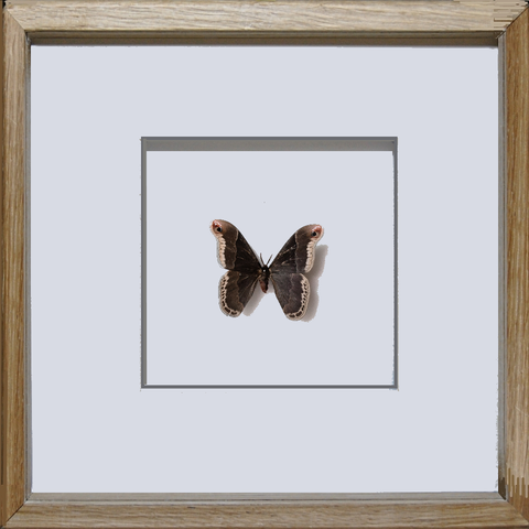 Silky Hawk Moth - Insect Frame UK