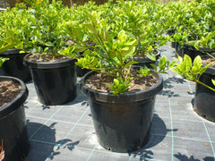 Gardenia Florida Avdanced 300mm Pot