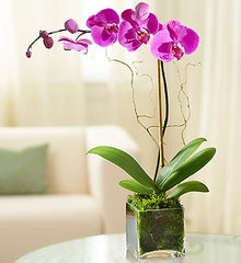 Elegant Orchid - Beaudry Flowers