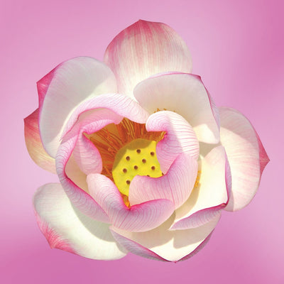 Pink Lotus LOTUSWEI flower essences