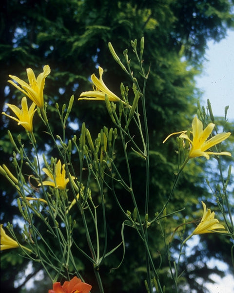 Tall clump of little yellow day lilies