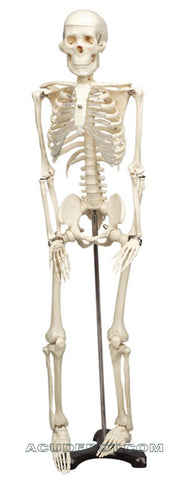 MR. THRIFTY SKELETON W/SPINAL