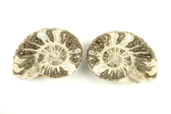 Authentic Ammonite Fossil Cut Polished Pair From Morocco- 7 to 12cm