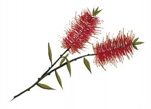 We chose Calistemon citrinus, the Crimson Bottlebrush for our wine label