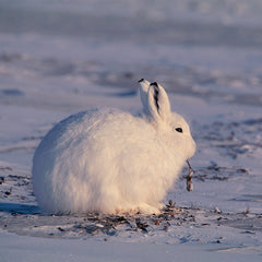 Protect an Arctic Hare's Frosty Home