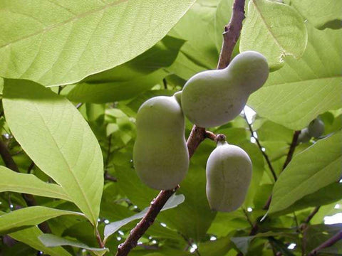 Common PawPaw Tree Seeds, Asimina triloba - 25 Seeds