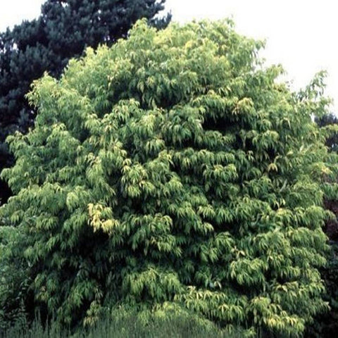 100 European Red Elderberry Tree Seeds, Sambucus Racemosa