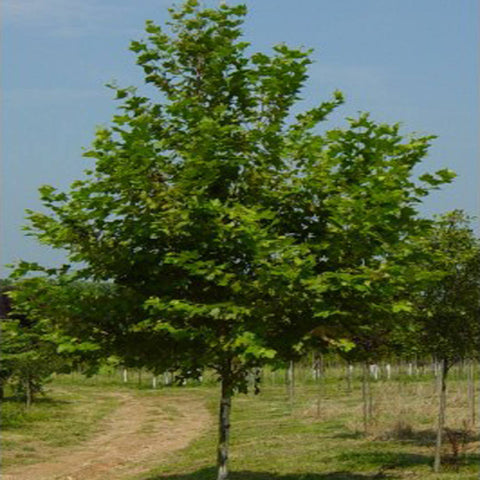 100 London Planetree Seeds, Platanus Acerifolia