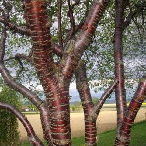 100 Paperbark Cherry Tree Seeds, Prunus serrula