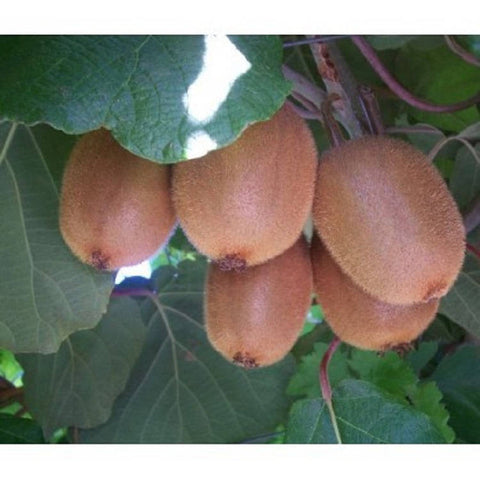 10 Kiwi Fruit Tree Seeds, Actinidia chinensis