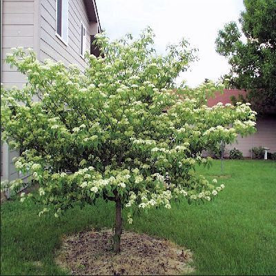 50 Pagoda Dogwood Tree Seeds, Cornus alternifolia