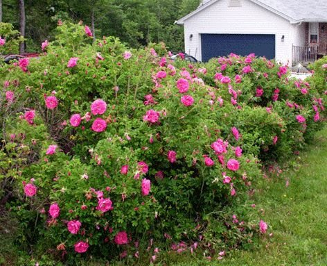 50 Red Rugosa Rose Seeds, Rosa rugosa