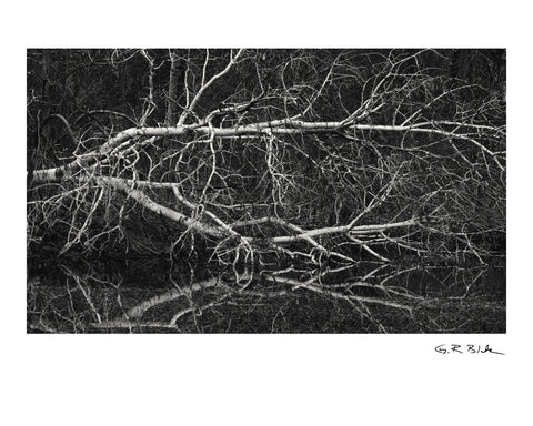 Fallen Birch | Digital Fine Art Print