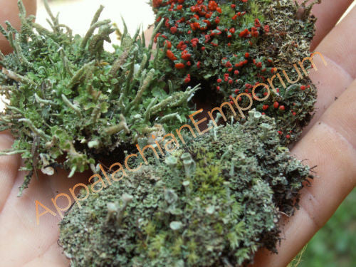 3 Pc Live Lichen Combo British Solder Pixie Cup Pityrea for Terrariums Fairy Gardens