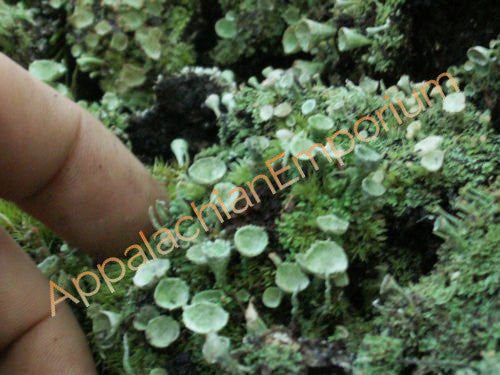 2 Pc Live Pixie Cup Cladonia Lichen for Terrariums Fairy Gardens