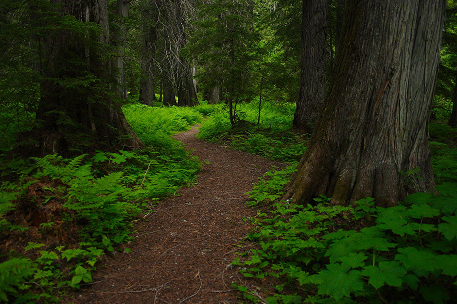 Path into Ancient Cedar Forest