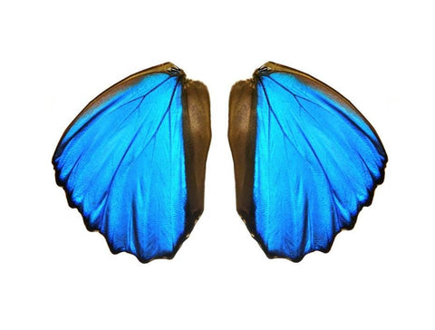 Blue morpho butterfly wing pairs
